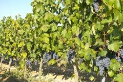 Vineyard in la Rioja before the harvest, Spain Royalty Free Stock Photos