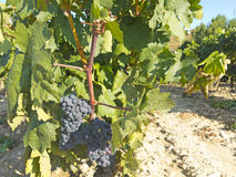 Vineyard in la Rioja before the harvest, Spain Royalty Free Stock Photography