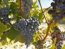 Vineyard in la Rioja before the harvest, Spain Stock Photos