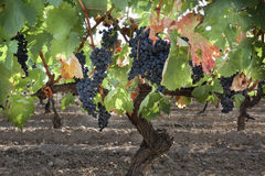 Vineyard in La Rioja (Spain) Royalty Free Stock Image