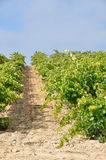 Vineyard,  La Rioja (Spain) Royalty Free Stock Images