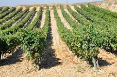 Vineyard, La Rioja (Spain) Royalty Free Stock Photography