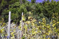 vineyard in la speiza Stock Photos