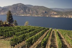 Vineyard by the lake Stock Image