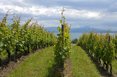 Vineyard on Lake Geneva, Switzerland Royalty Free Stock Image