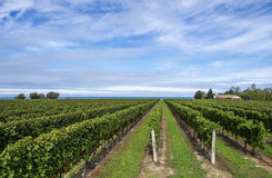 Vineyard by Lake Ontario #2. Vineyard landscape on a sunny day #2 Stock Photo