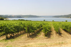 Vineyard and lake in Umbria Royalty Free Stock Photo