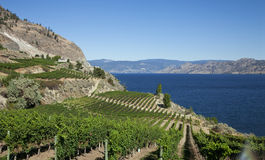 Vineyard With Lakeview Stock Image