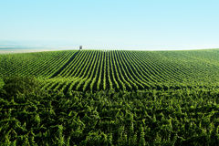 Vineyard landscape Royalty Free Stock Images