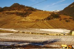 Vineyard landscape. In the french alps in winter Stock Photo