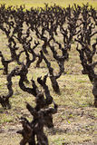 Vineyard landscape. An old vineyard in the south of France Stock Photography