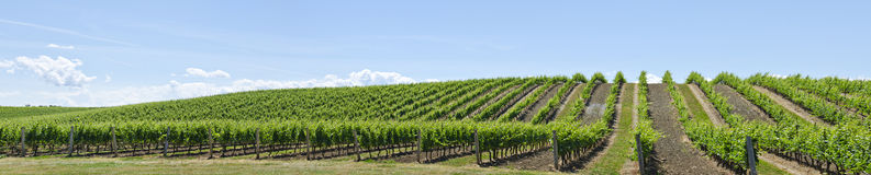 Vineyard Landscape #2 Stock Image