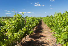 Vineyard in landscape Stock Photo
