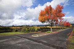 Vineyard Landscape. A vineyard and autumn colored trees around a road Royalty Free Stock Photography