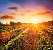 Vineyard landscape. Beautiful vineyard landscape with rows of vines and sea with sunset in the background Stock Photo