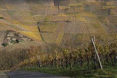 Vineyard Landscape. In the Mosel Valley, Germany. This landscape creates a uniform pattern on the side of a mountain royalty free stock photos