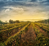 Vineyard landscape. Beautiful vineyard landscape with rows of vines and sea with sunset in the background stock photos