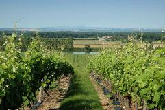 Vineyard landscape Stock Image