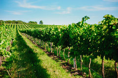 Vineyard landscape Stock Photos