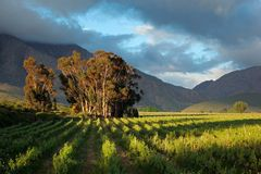 Vineyard landscape Stock Photos