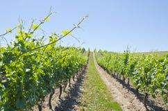 Vineyard Landscape 3 Stock Photos