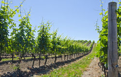 Vineyard Landscape #4 Royalty Free Stock Images