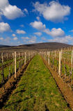 Vineyard Landscape. A picturesque view of a huge vineyard in spring Royalty Free Stock Image