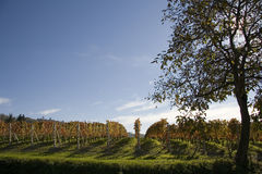 Vineyard landscape in autumn. Vineyard landscape in the fall in the Langhe in Piedmont Royalty Free Stock Photo