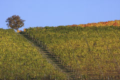 Vineyard landscape in autumn. Vineyard landscape in the fall in the Langhe in Piedmont Royalty Free Stock Image