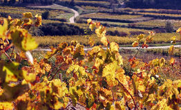 Vineyard Landscape in autumn Stock Image