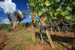 Vineyard landscape in autumn with olive tree Royalty Free Stock Images