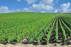 Vineyard Landscape,Champagne region near Epernay,France. Vineyard Landscape in Champagne region near Epernay,Marne,France Royalty Free Stock Image