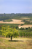 Vineyard landscape and clear blue sky. Stock Image