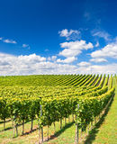 Vineyard landscape with cloudy blue sky Stock Photo
