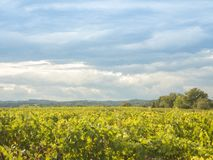 Vineyard landscape with a cloudy sky royalty free stock photo