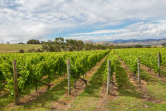 The Vineyard Landscape Stock Images