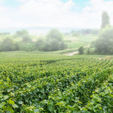 Vineyard landscape in fog, Montagne de Reims Royalty Free Stock Images