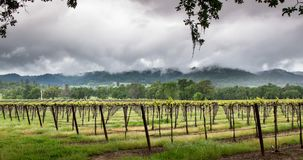 Vineyard Landscape stock video