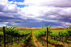 Yakima Vineyard under cloudy sky. Storm clouds billow above Yakima, WA vineyard landscape of vibrant green, gold and blue royalty free stock images