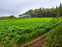 Vineyard Landscape. Green Vineyard Landscape on cloudy weather royalty free stock photos