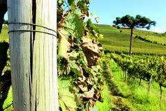 Vineyard landscape. Green vineyard landscape in south of Brazil Royalty Free Stock Image