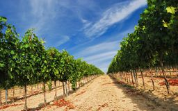 Vineyard landscape in Hungary Royalty Free Stock Images