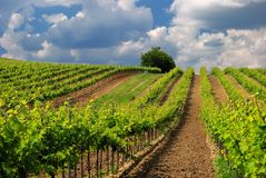 Vineyard landscape with beautiful clouds and blue sky in summer Royalty Free Stock Images