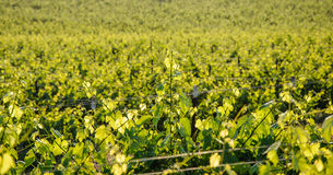 Vineyard landscape Stock Images