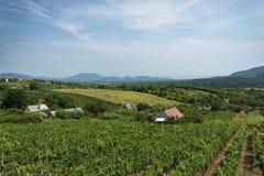 Vineyard landscape at Lake Balaton Royalty Free Stock Photography