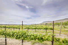 Vineyard Landscape in Maryhill Washington State Stock Photo