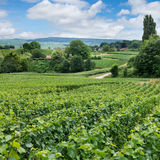 Vineyard landscape, Montagne de Reims, France Royalty Free Stock Photos