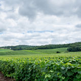 Vineyard landscape, Montagne de Reims Royalty Free Stock Photos