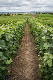Vineyard landscape, Montagne de Reims Royalty Free Stock Photo