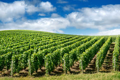 Vineyard landscape, Montagne de Reims Stock Photo